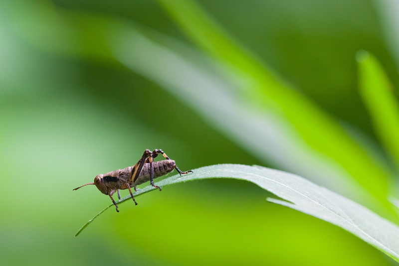 """<b>""""THE DECISION""""</b>   To jump or not to jump? That is the question this tiny baby grasshopper (only a half inch long) pondered as he sat on the tip of a leaf in the Minnesota woods. After a long while, he indeed took the plunge."""