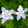 "<b>""BEAUTIFUL BLUE COLUMBINE""</b>"