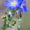 """<b>""""WILD BLUE FLAX""""</b>"""