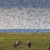 Blackbirds Over the Horses