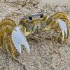 Ghost Crab up Close