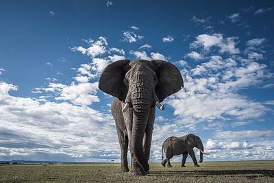 Wim van den Heever - Elephant6165