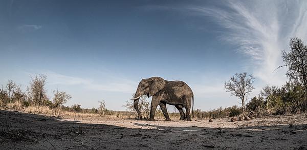 Wim van den Heever - Elephant7076