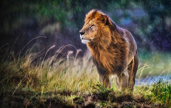It was cold and raining with a strong wind blowing when this huge male lion (Panthera leo) stood up. He turned and faced the wind and stood there smelling the air for several minutes. No doubt he could smell his next move. Masai Mara, Kenya.