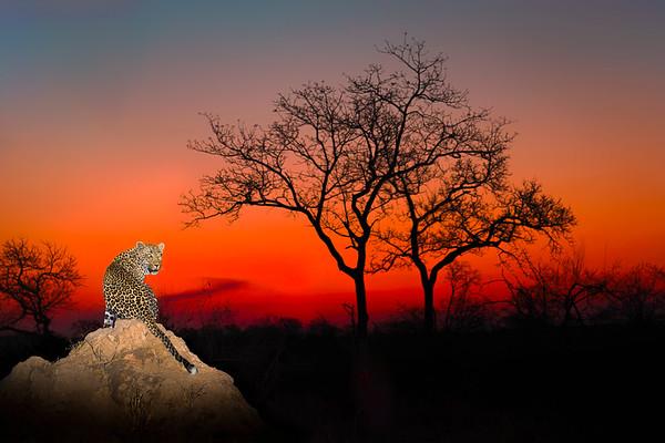 Perfect Leopard Sunset