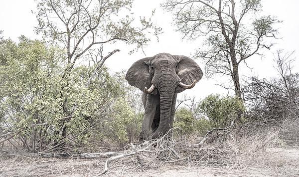Wim van den Heever - Elephant7344