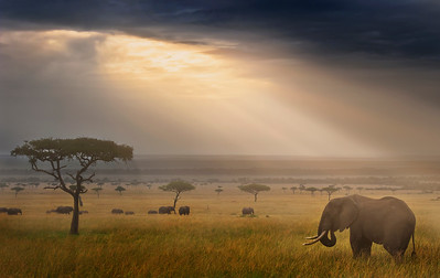 A tranquil landscape image from the Masai Mara Kenya with an African Elephant (Loxodonta africana) caught in the rays of a beautiful sunrise. Edited with Lightroom and Color Efex