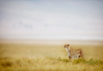 A male Cheetah (Acinonyx jubatus) looking across the open plain of the Ngorongoro Crater floor for its next meal. Tanzania.