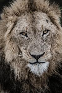 Wim van den Heever - Lion0667