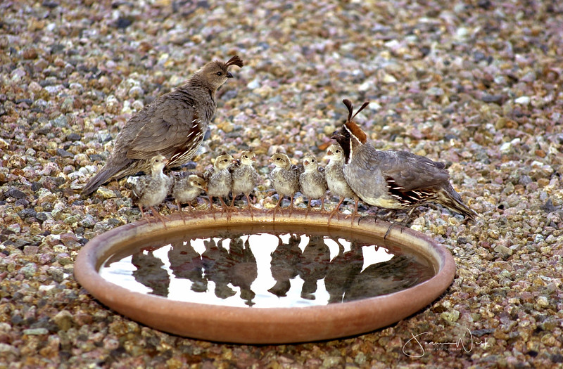 Quail Family Gathering, Arizona
