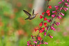 Hummingbird with Penstemon Flower