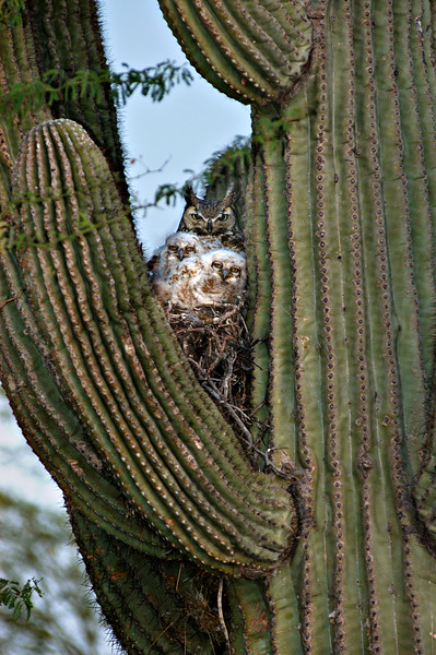 Mother Owl with Chicks Saguaro Nest