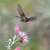 Hummingbird Peeing