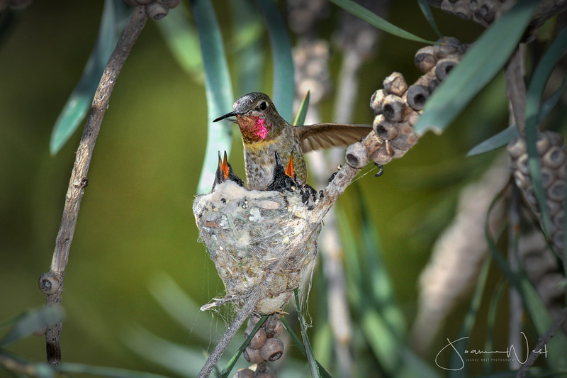Mother Hummingbird and Chicks