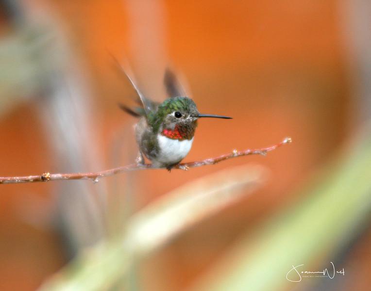 Ucellino Hummingbird