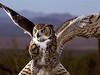 Great Horned Owl,  Tucson AZ