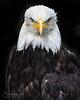 Bald Eagle, Named Jude Alaska