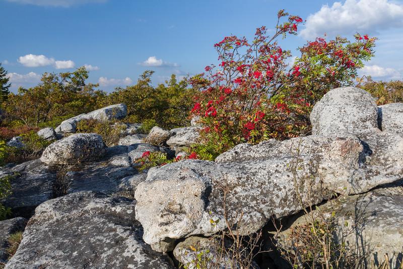 Bear Rocks Blueberries