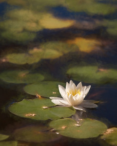 Waterlily copy