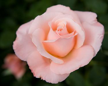 Ephemeral Splendor - Pink Rose