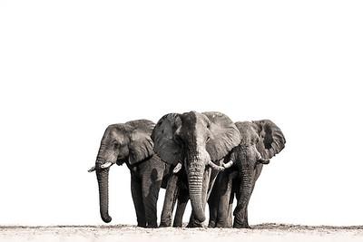 Wim van den Heever - Elephant7570