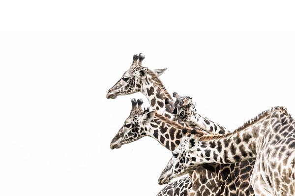 Wim van den Heever - Giraffe4116
