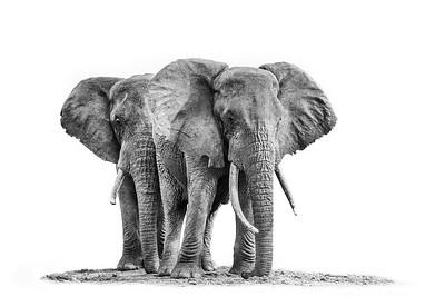 Wim van den Heever - Elephant4880