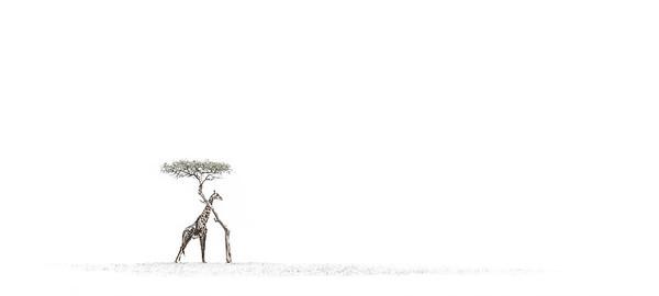 Wim van den Heever - Giraffe9088