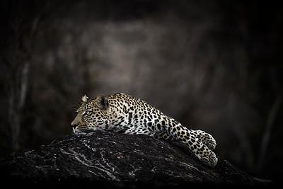 Wim van den Heever - Leopard4729