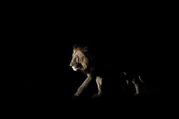 Wim van den Heever - Lion2189