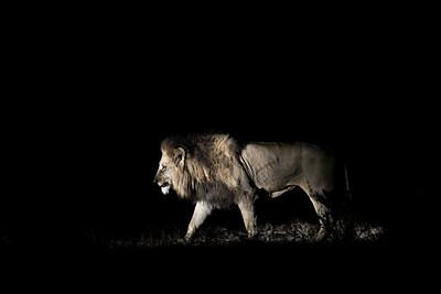 Wim van den Heever - Lion4253