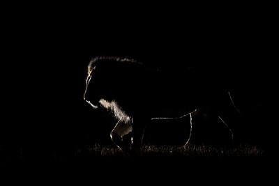 Wim van den Heever - Lion4271