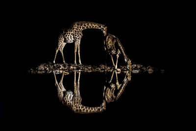 Giraffe Circles