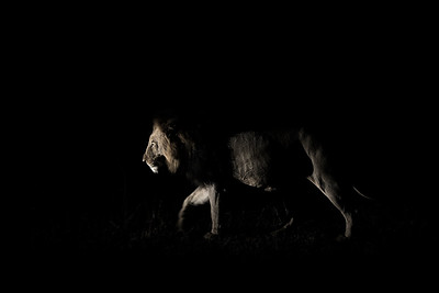 Wim van den Heever - Lion2209