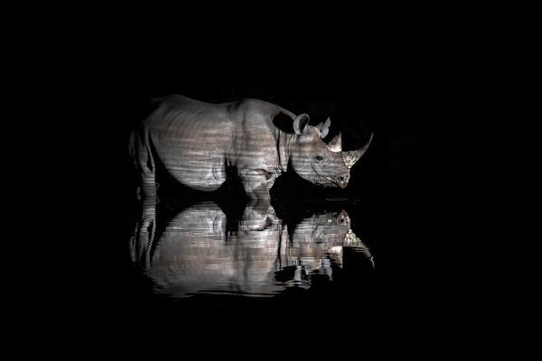 Rhino Reflection