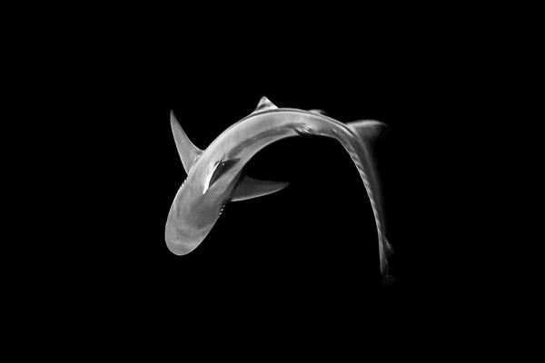Wim van den Heever - Shark0604