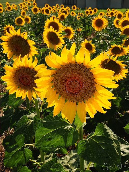 Field Of Joy, sunflowers Colorado