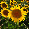 Field Of Joy, sunflowers Colorado