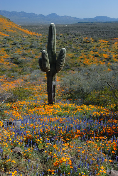 Arizona Wildflowers, Peridot Mesa  San Carlos AZ