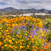 Super Bloom Bartlett Lake Arizona March 2019