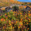 Spring Wildflowers, View from Peridot Mesa San Carlos Apache Reservation AZ