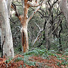 Lady of the Forest, Australia