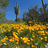 Poppies off Peralta Road, Gold Canyon AZ