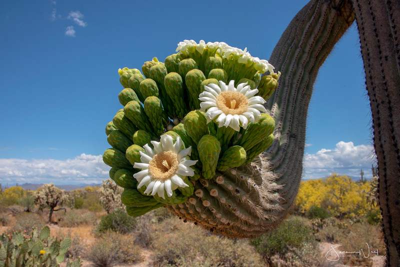 Fist of Blooms, Saguaro Cactus