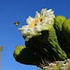 Bee in Bliss with Saguaro Cactus Blossom