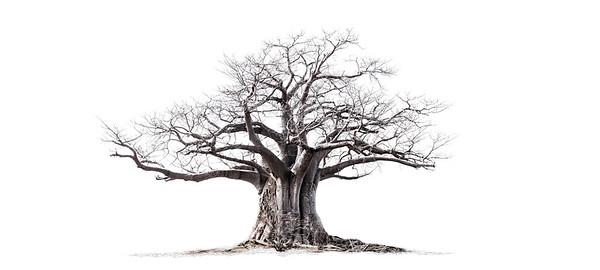 Wim van den Heever - Baobab 05