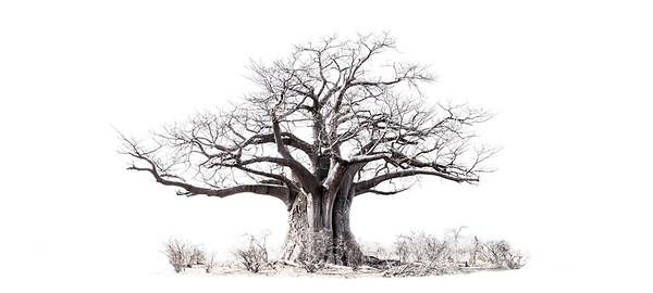 Wim van den Heever - Baobab 01