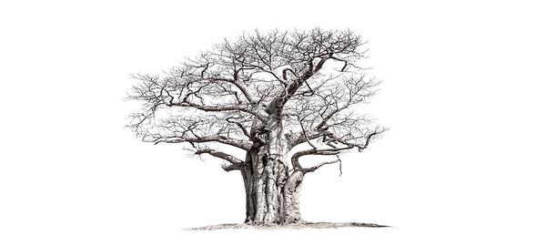 Wim van den Heever - Baobab 06