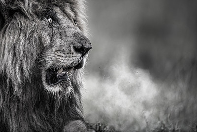 Wim van den Heever - Lion8916