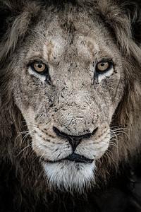 Wim van den Heever - Lion2133